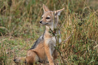 A young jackal watches