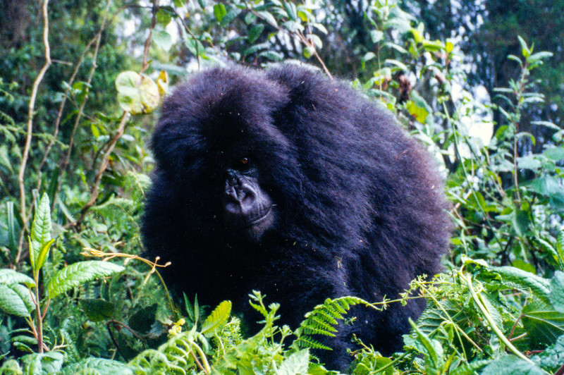 female gorillas friend