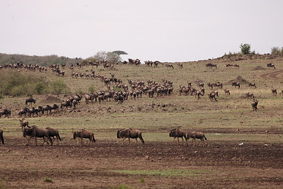 The wildebeast migration before crossing the Mara river
