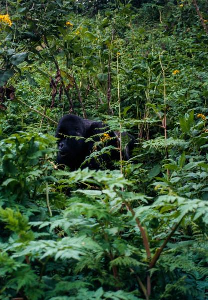 silverback gorillas eating