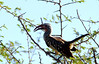red -billed hornbill