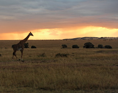 A giraffe strolls the Mara at sunset with wildebeast in the background