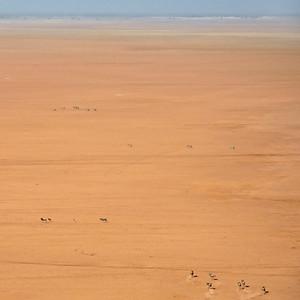 Kanzi to Mara by plane--wildebeasts at Amboseli - M