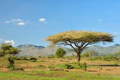 Acacia Tree Near Chyulu Hills - M