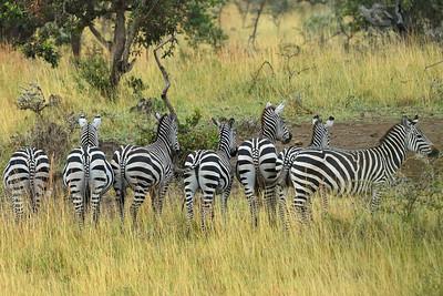 Zebras near Kanzi