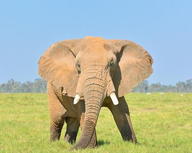 Kenya, Africa: Bull Elephant at Amboselli - M