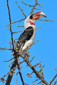 von der decken's hornbill, Tsavo West N.P. - M