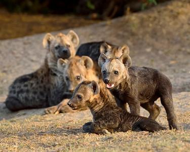Maasai Mara--spotted hyena pups