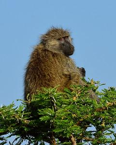 Maasai Mara--baboon in tree