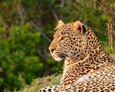Maasai Mara--leopard - M