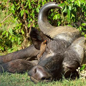 Maasai Mara--buffalo time out