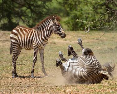 Maasai Mara--Zebra Dustoff