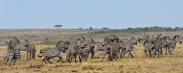 Maasai Mara--zebras in turmoil