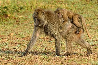 Maasai Mara--baboon with baby