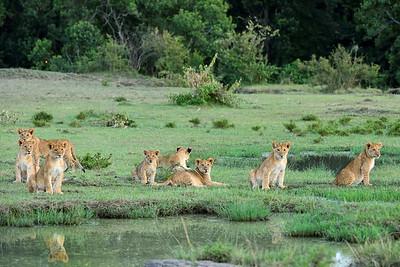 Maasai Mara--liion cubs