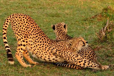 Maasai Mara--Cheetah brothers - M