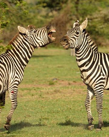 Maasai Mara--zebra fight 2 - M