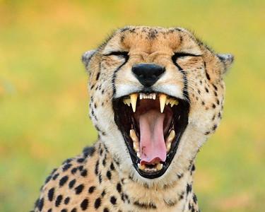 Maasai Mara--Cheetah portrait - M