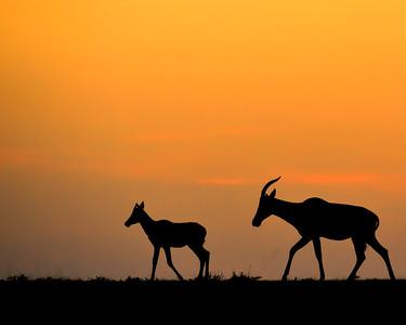 Maasai Mara--topi mom and calf at sunrise