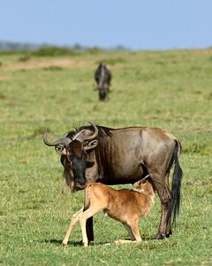 Maasai Mara--Wildebeast mom and suckling calf