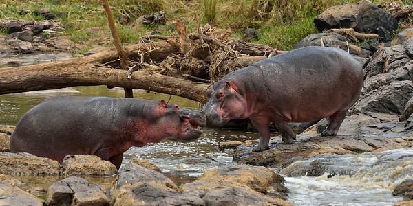 Maasai Mara--hippopotamus meeting, Mara River