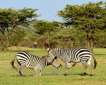 Maasai Mara--zebra fight