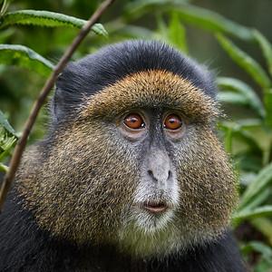 Golden Monkey 4 -M