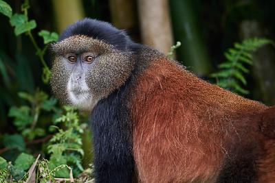Golden Monkey 3