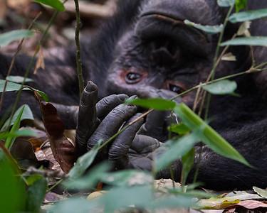 Adult Male Chimpanzee - Hand Detail
