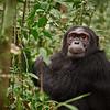 Adult Male Chimpanzee -M