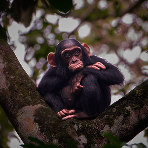 Baby Chimpanzee in Tree