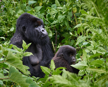 Dominant Silver Back of Umubano Group  with Baby