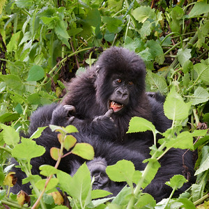 Junior Gorilla of Umubano Group  5
