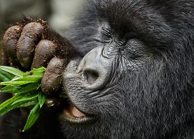 Gorilla of Sabyinyo Group - Snack -M