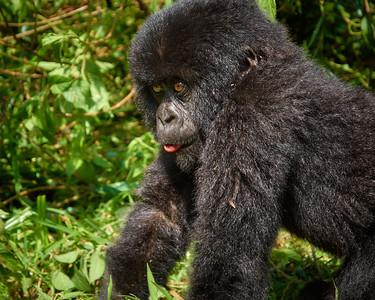 Baby Gorilla of Hirwa Group -M
