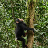 Baby Chimpanzee - Climbing Tree