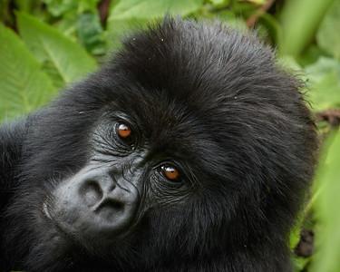 Junior Gorilla of Umubano Group  1 -M