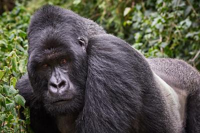Silverback Gorilla of Sabyinyo Group