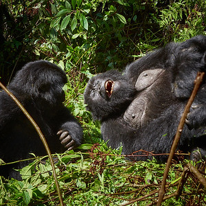 Mom and Baby Gorilla of Hirwa Group -M