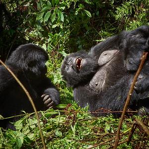 Mom and Baby Gorilla of Hirwa Group -M