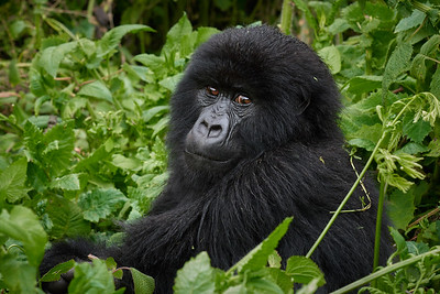 Junior Gorilla of Umubano Group  2