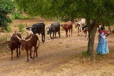 Cattle Herder Along the Roadways