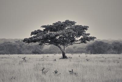 Acacia Tree -M