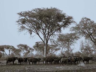Buffalo under Acacia Tree -M