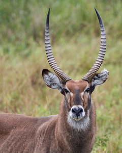 Waterbok Portrait