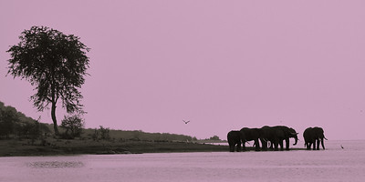Elephants in Silhouette -M
