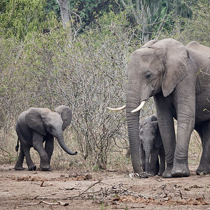 Elephant and Calves