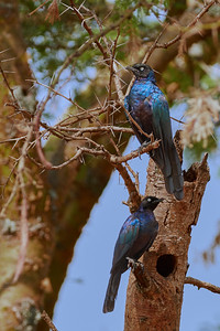 Starling Couple