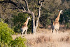A pair of giraffe, our first sighting of something we could recognize!