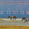 Lesser Flamingos and Zebras birds
